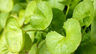 Efficacy of Gotu Kola Leaves as an Herbal Medicine Various Diseases