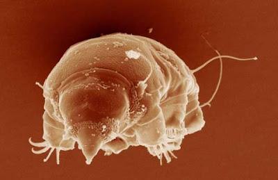 史上「最強不死生物」水熊蟲(tardigrade)