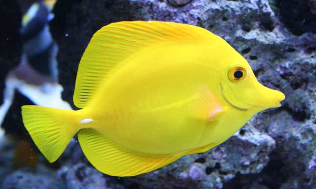 Animals places july 2013 for Yellow tang fish