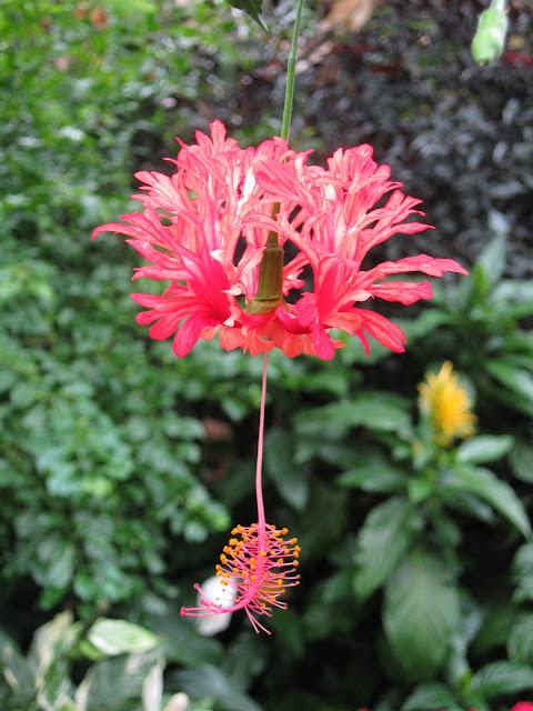 Malvaceae Family
