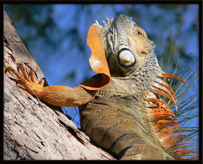 The face of an iguana