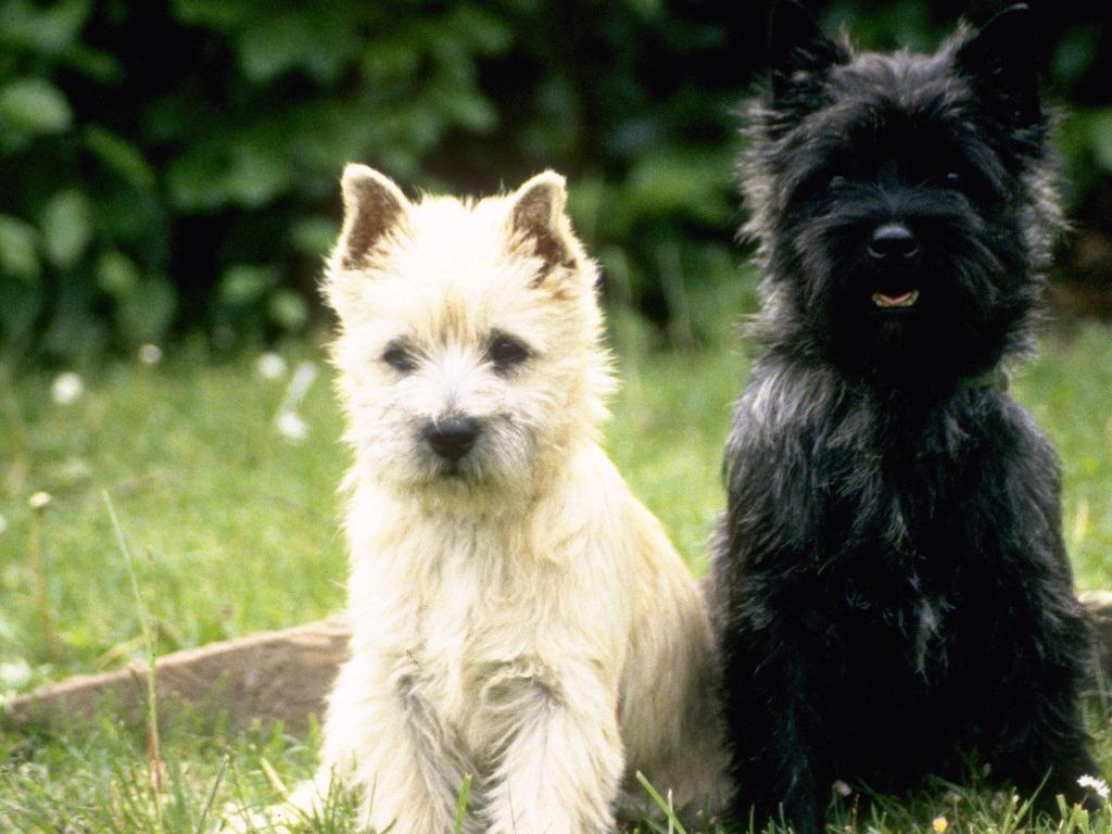 Cairn Terrier Puppy wallpaper 1080p