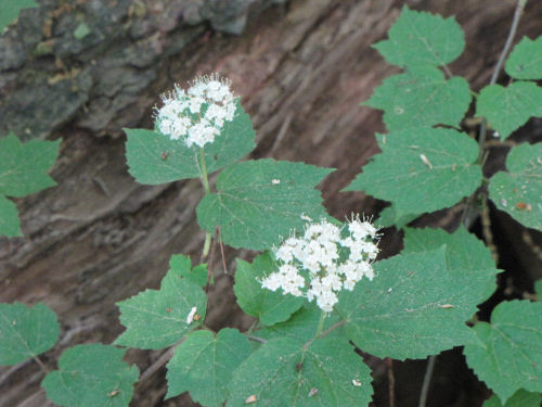 maple leaved viburnum