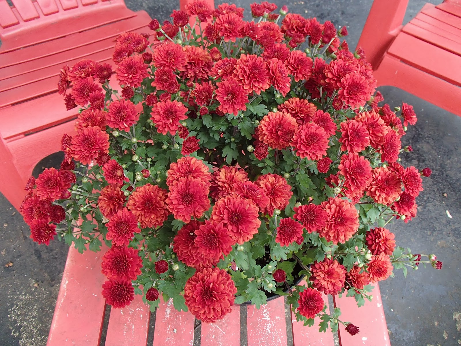 Wine colored mums on the porch | Navigating Hectivity by Micki Bare