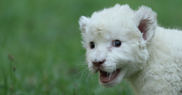 A dog adopts baby white lion, adoptive dad, baby white lion