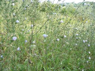 Cicoria selvatica, Cichorium intybus