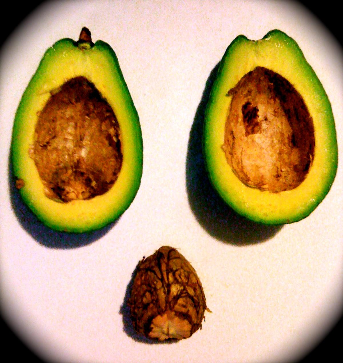 Agroinfopr el problema con la semilla de aguacate for Como cultivar aguacate