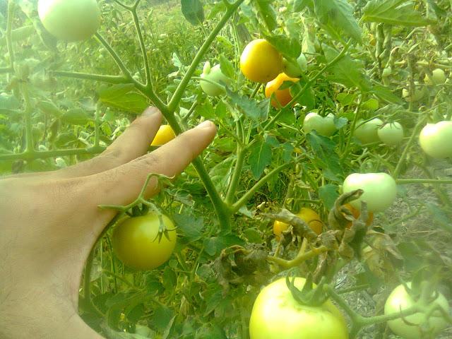 Tomat Rampai Saat Dipohonnya