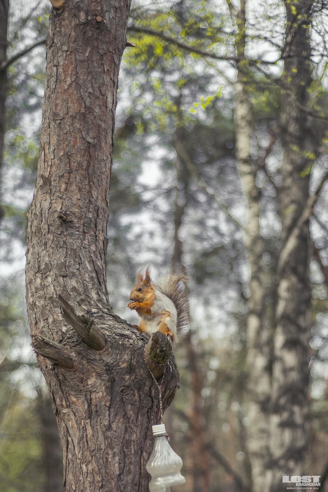 Squirrels Krasnodar