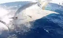 Hero Marlin jumping in La Brisa boat