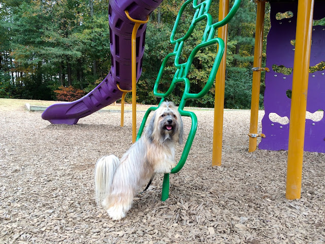 Dog balancing at playground Rocco Havanese