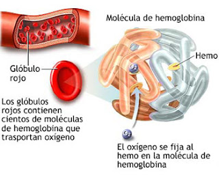 Anemia fenorropénica