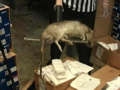 rata enorme cazada en foot locker la tienda de zapatos en new york