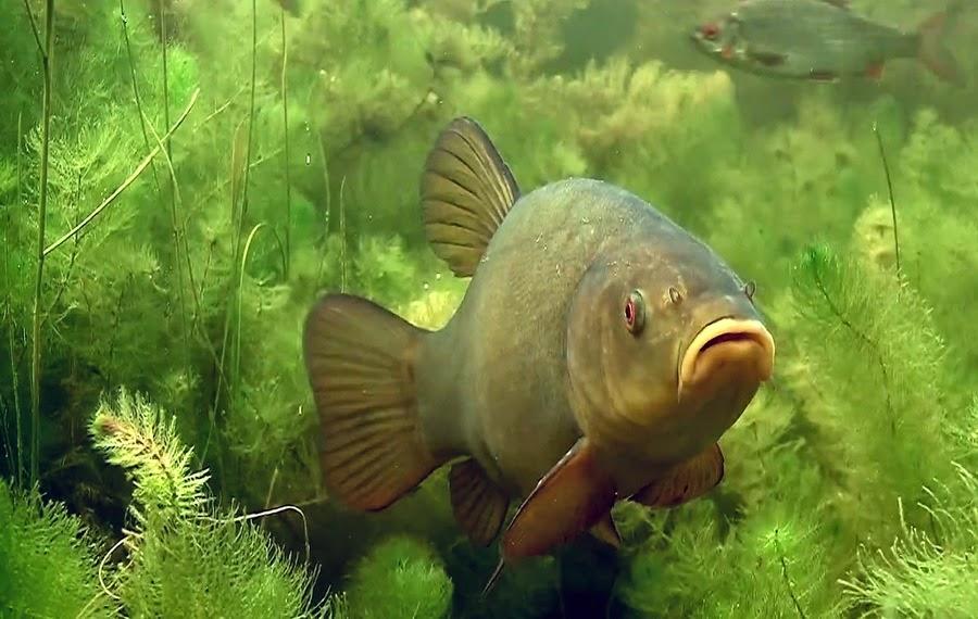 рыба линь