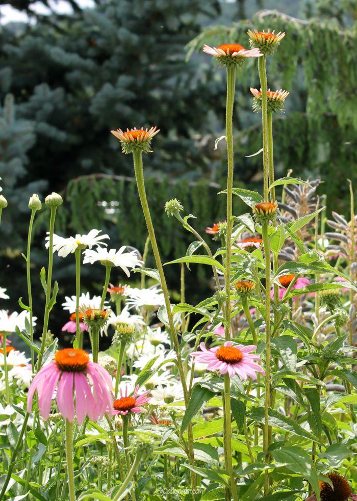 flores de rudbeckia morada