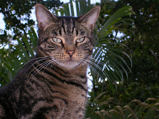 American Shorthair Pictures