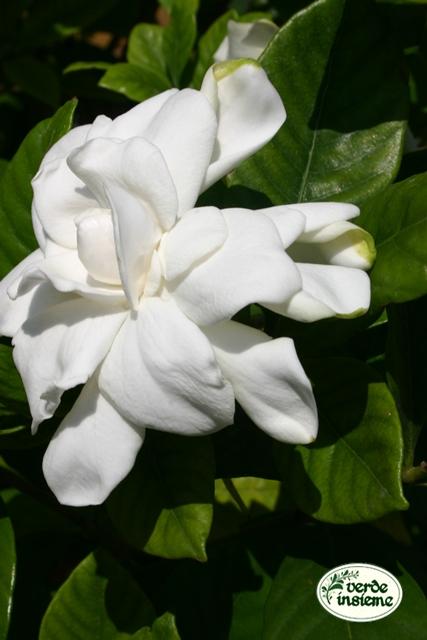 Gardenia un fiore dal profumo ineffabile - Gardenia pianta da giardino ...