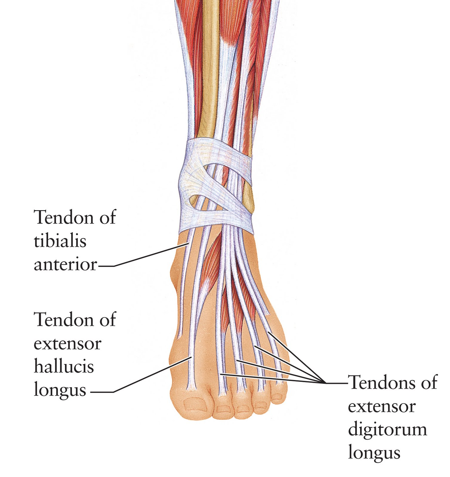 Human Anatomy for the Artist: The Dorsal Foot: How Do I Love Thee ...