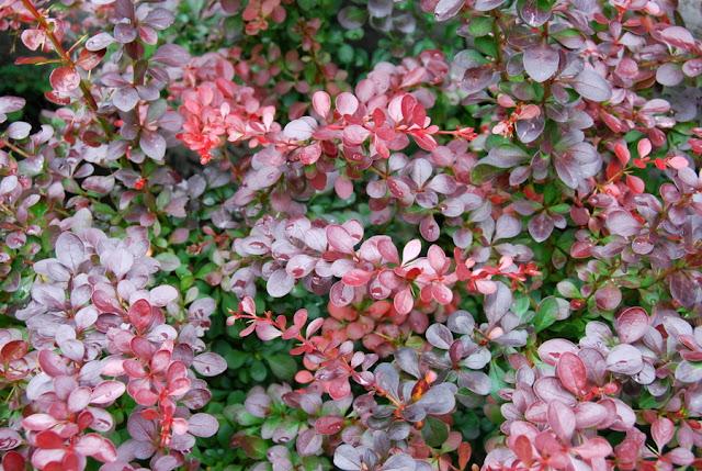 Il mondo in un giardino berberis e berberina - Arbusti da giardino sempreverdi ...