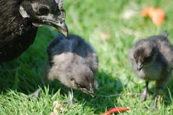 Hilda´s kycklingar