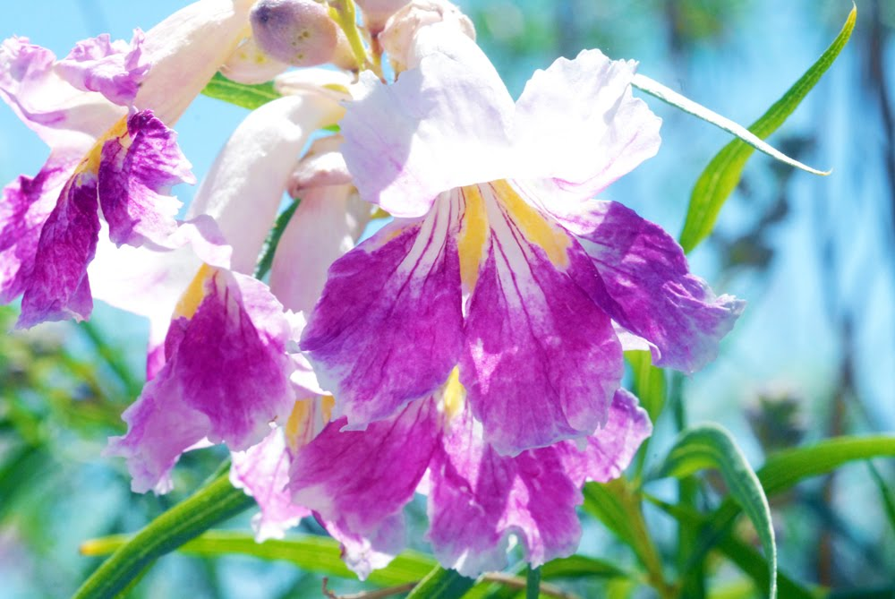 Desert Willow, Chilopsis linearis_3005