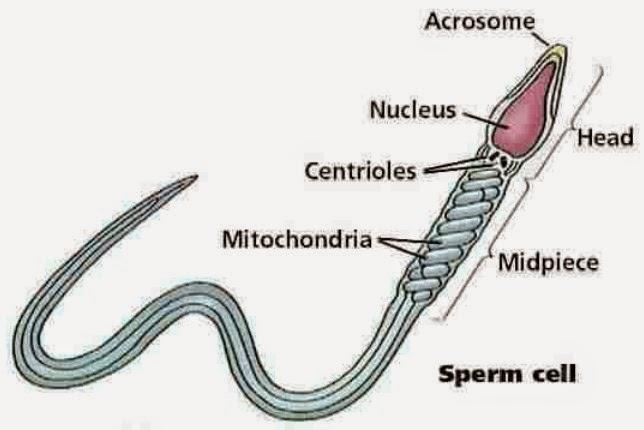 sperma yang baik ditentukan oleh apa