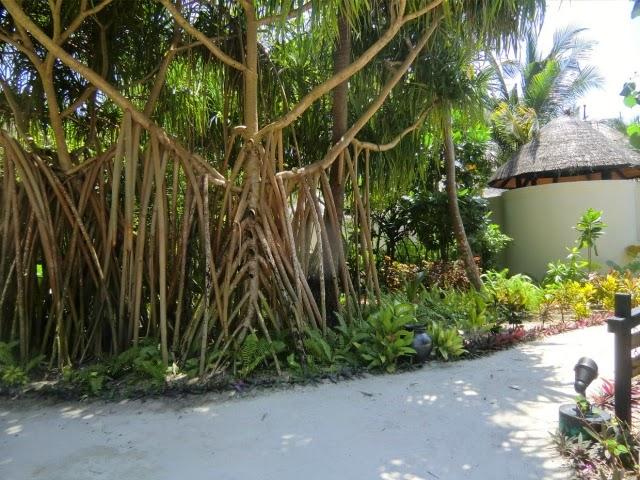 Rasteniya_Maldives