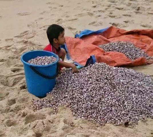 Ribuan Kerang Serang Pantai Terengganu