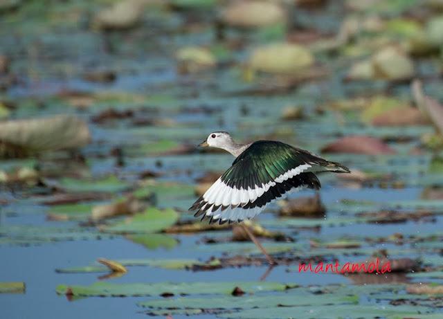 Cotton Pygmy Goose(Nettapus coromandelianus)