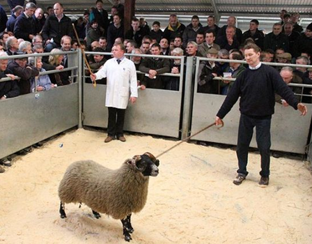 perthshire auction blackface lamb sheep