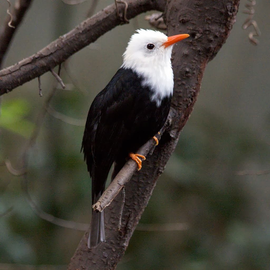 Black Bulbul Bird