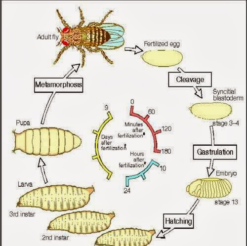 fruit bowls fruit fly life cycle
