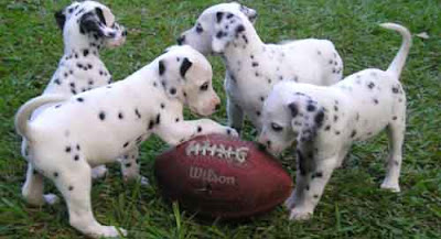 Dalmatian cute puppies