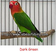 burung ocehan jenis jenis lovebird di indonesia