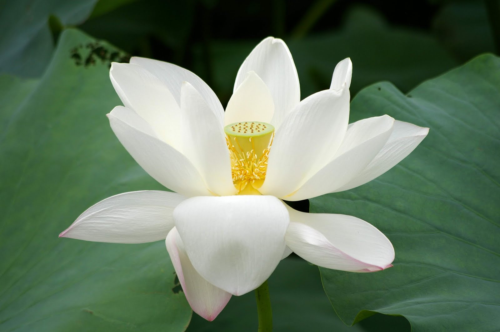 Flower Picture  Lotus ...