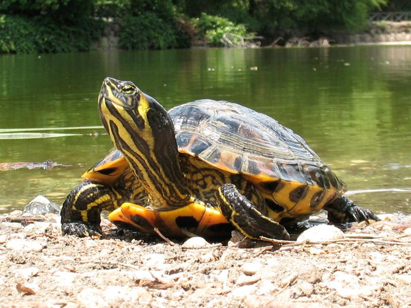 Io tartaruga trachemys gennaio 2013 for Pellet per tartarughe