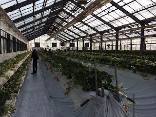 越谷いちご観光農園オープン