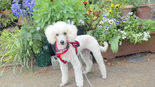 Jardins, primavera e segurança do cachorro
