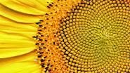 Veja nas imagens abaixo como a constante de Fibonacci se manifesta na natureza!