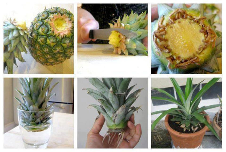 Inevitabile news come ottenere una pianta dal ciuffo di - Pianta ananas ...