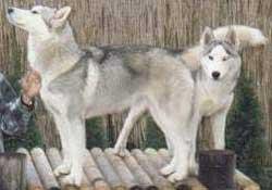 Foto Anjing Siberian Husky Abu-abu