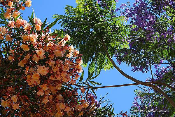 Under the canopy of flowering pale salmon pink oleanders and purple jacarandas