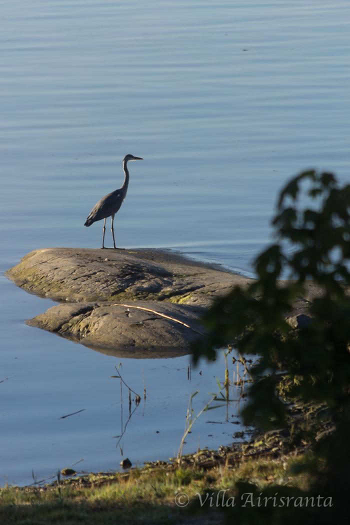 luonto, saaristo, harmaahaikara, nature, archipelago, linnut, birds