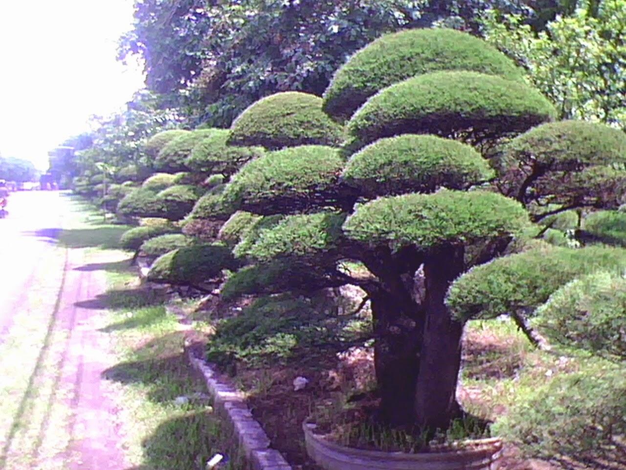 Koleksi Tanaman Hias Pohon Cemara Udang Casuarina Equisetifolia