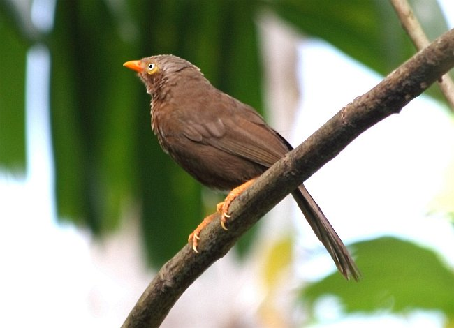 endemic birds of sri lanka pdf
