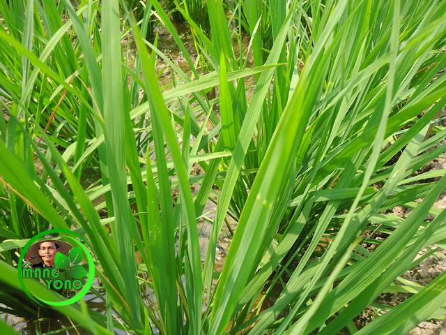 Ini tanaman padi saya di Cibandung... daun tanaman padi agak menguning.