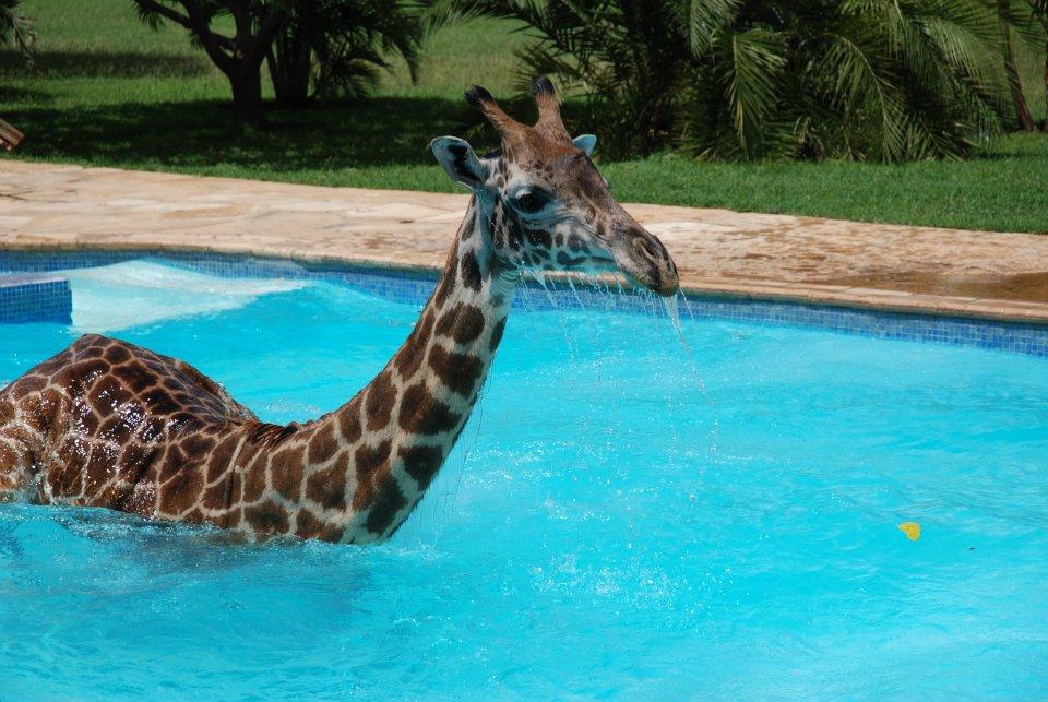 giraffe playing in swimming pool 6 pics amazing creatures