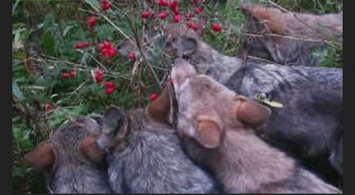 Young wolves eating berries (Video)