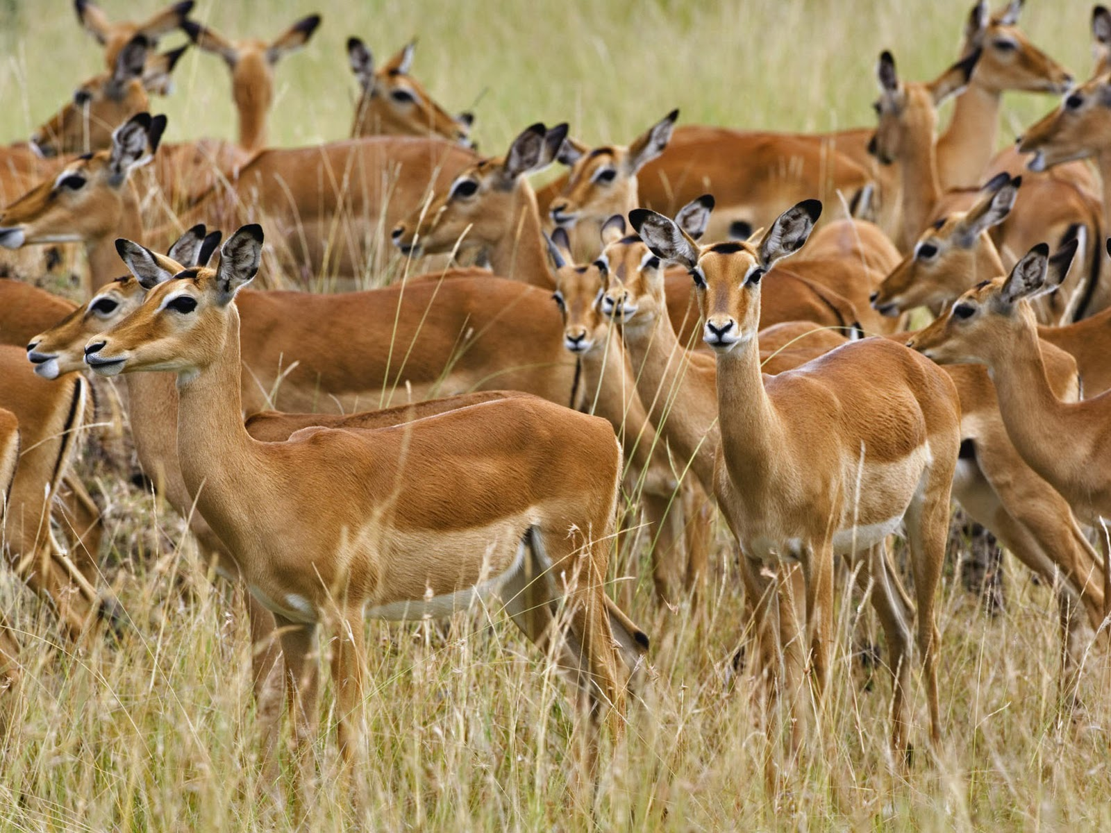 Herd Of Female Impala Masai Mara Kenya Africa Stock  - herd of female impala masai mara kenya wallpapers