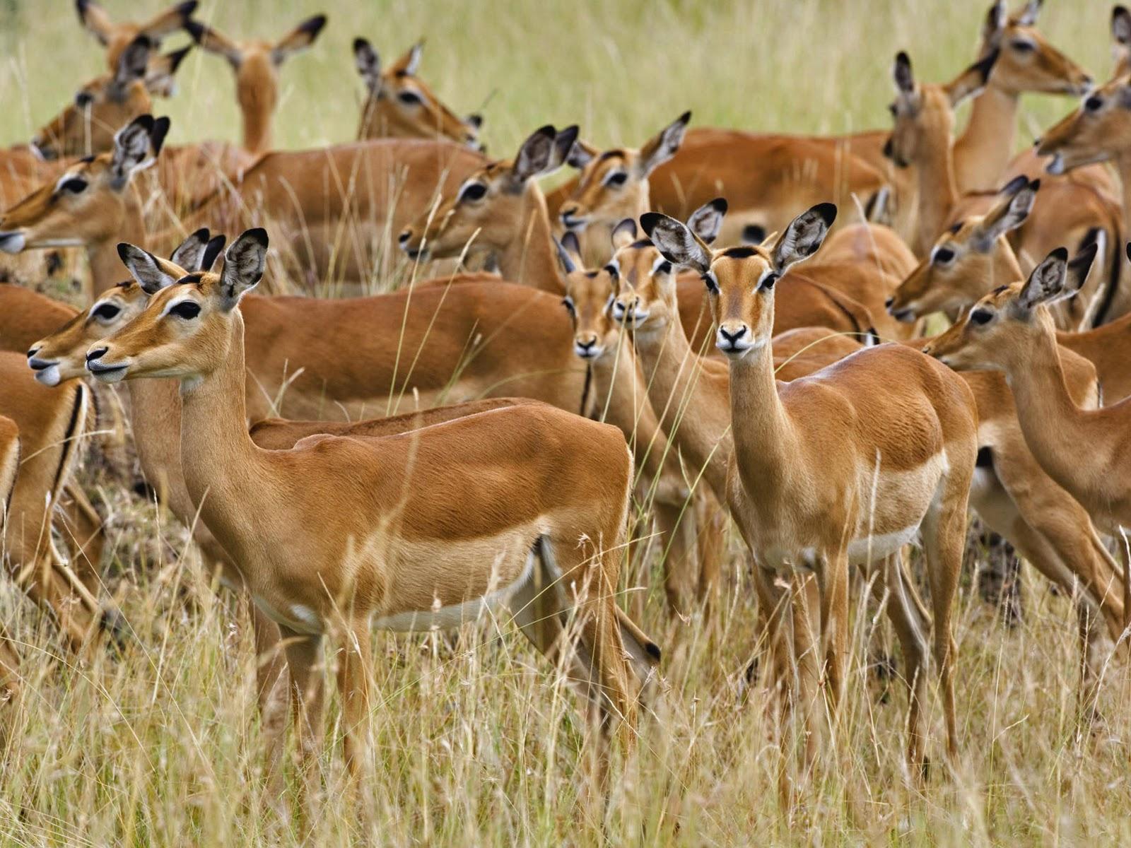Antelope Africa 42
